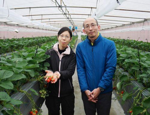 手軽にイチゴの摘み取り体験を楽しもう!「長岡東山ふるさと体験農園」